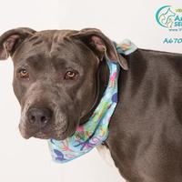 Adopt A Pet :: *PORSCHA - Camarillo, CA