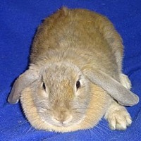 Adopt A Pet :: Thumper - Woburn, MA