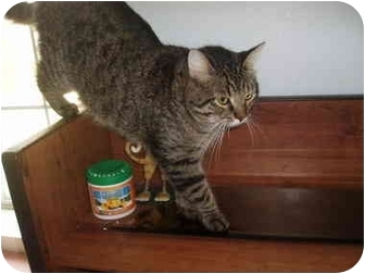 Domestic Shorthair Cat for adoption in Hamburg, New York - Scout