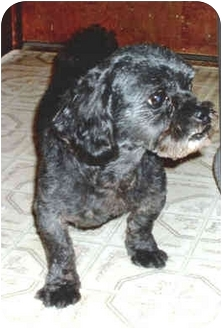 Shih Tzu Mix Dog for adoption in Falls City, Nebraska - Pippy