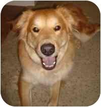 Golden Retriever Mix Dog for adoption in Scottsdale, Arizona - Leo