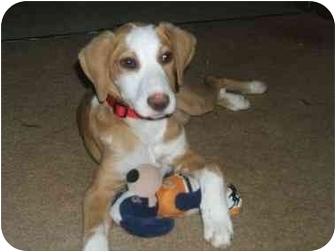 Beagle Mix Puppy for adoption in Essex Junction, Vermont - STAR