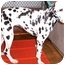 Photo 1 - Dalmatian Dog for adoption in Mandeville Canyon, California - Juliet