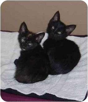 Domestic Shorthair Kitten for adoption in San Diego/North County, California - Sam & Bo