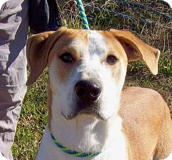 Labrador Retriever/Great Dane Mix Dog for adoption in Glastonbury, Connecticut - BOONE - Courtesy Posting