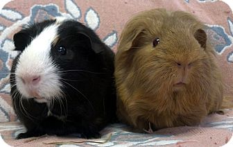 Guinea Pig for adoption in Lewisville, Texas - Bella and Alazar