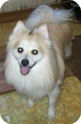 Pomeranian/American Eskimo Dog Mix Dog for adoption in Bunnell, Florida - Mr. Happy
