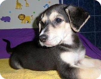 Rottweiler/German Shepherd Dog Mix Puppy for adoption in Bartonsville, Pennsylvania - Jewel