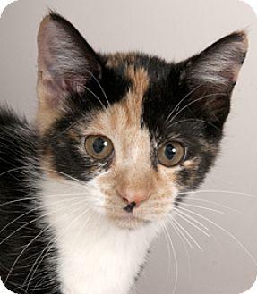 Calico Kitten for adoption in Chicago, Illinois - Twixie