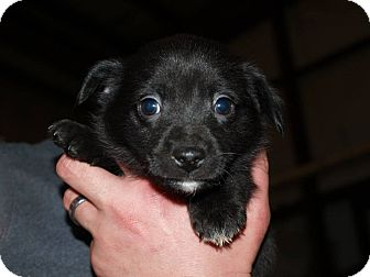 Rat Terrier Mix Puppy for adoption in Oakdale, Louisiana - Blake