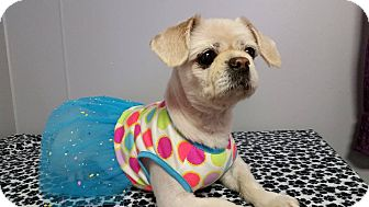 Pekingese/Shih Tzu Mix Dog for adoption in Urbana, Ohio - Emma
