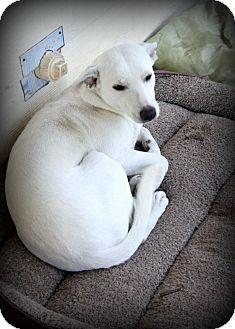 Italian Greyhound/Labrador Retriever Mix Dog for adoption in Weatherford, Texas - *WINTER*