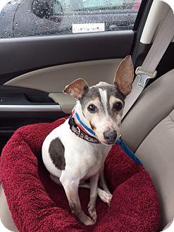 Italian Greyhound Mix Dog for adoption in Richmond, Virginia - Vinnie