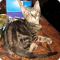 Adopt A Pet :: Imp - Dallas, TX