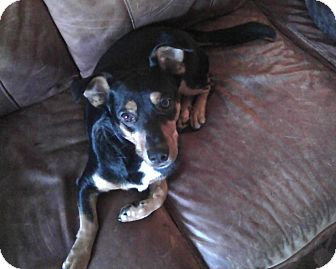 Miniature Pinscher/Terrier (Unknown Type, Small) Mix Dog for adoption in knoxville, Tennessee - BOSS