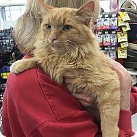 Adopt A Pet :: Meeko (loving girl) - Sterling Hgts, MI