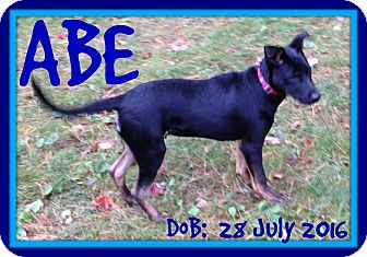 German Shepherd Dog Mix Puppy for adoption in Manchester, New Hampshire - ABE