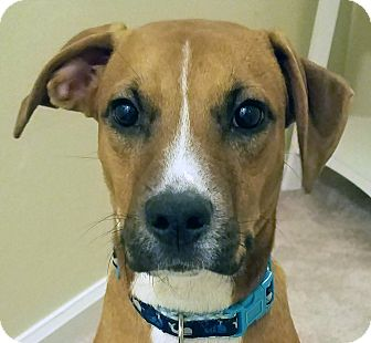 Boxer/Pug Mix Dog for adoption in Allentown, Pennsylvania - Jack