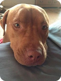 American Pit Bull Terrier Puppy for adoption in Manhattan, New York - Carl