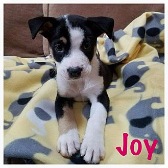 Pit Bull Terrier Mix Puppy for adoption in Hainesville, Illinois - Joy