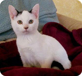 Domestic Shorthair Cat for adoption in Harrisonburg, Virginia - Tispy