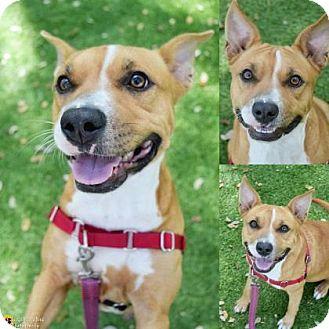 Terrier (Unknown Type, Medium)/Corgi Mix Dog for adoption in Clearwater, Florida - Tia