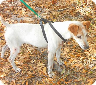 Jack Russell Terrier Dog for adoption in Terra Ceia, Florida - TOMMY