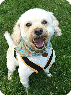 "Miniature Poodle/Bichon Frise Mix Dog for adoption in Seattle, Washington - ""Swazey"""