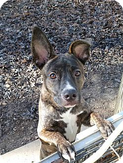 Mountain Cur/Whippet Mix Dog for adoption in Harrisonburg, Virginia - Rudolph