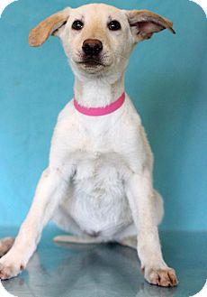 Labrador Retriever Mix Puppy for adoption in Waldorf, Maryland - Candi