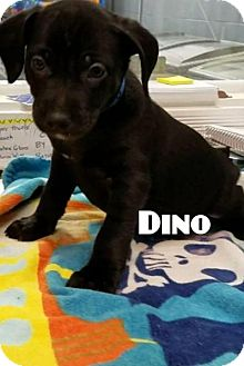 Retriever (Unknown Type) Mix Puppy for adoption in Plainfield, Illinois - Dino