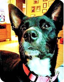 Border Collie Mix Dog for adoption in Bradenton, Florida - Minnie