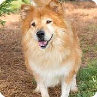 Chow Chow Mix Dog for adoption in Alpharetta, Georgia - Teddy