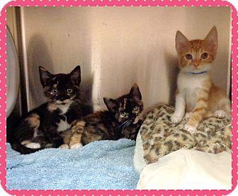 Domestic Shorthair Kitten for adoption in Marietta, Georgia - OSCAR, AMELIA, OTHYLIA (R)