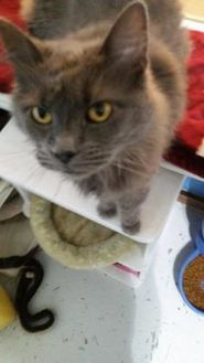 Domestic Longhair/Domestic Shorthair Mix Cat for adoption in Alpena, Michigan - Kimarie