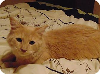 Maine Coon Cat for adoption in Newtown Square, Pennsylvania - Dusty