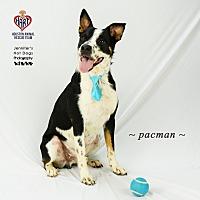 Adopt A Pet :: PacMan - Tomball, TX