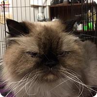 Himalayan Cat for adoption in Amarillo, Texas - Smoochska