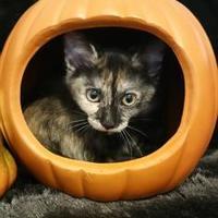 Adopt A Pet :: Angelica - Richmond, VA