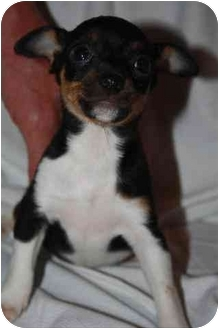 Miniature Pinscher/Jack Russell Terrier Mix Puppy for adoption in Homer, New York - Delaney
