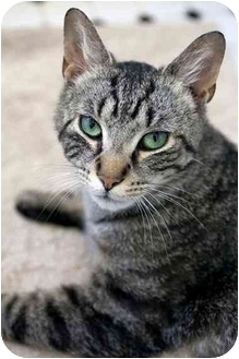 Domestic Shorthair Cat for adoption in Brooklyn, New York - Max