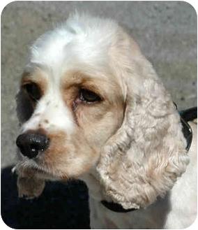 Cocker Spaniel Mix Dog for adoption in Lancaster, Kentucky - Cupcake