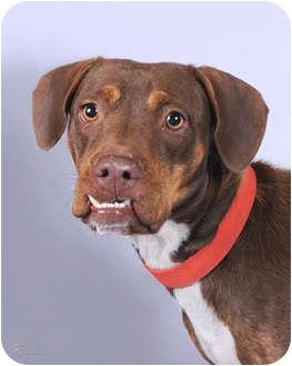 Labrador Retriever Mix Dog for adoption in Broadway, New Jersey - Roxanne
