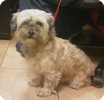 Shih Tzu/Yorkie, Yorkshire Terrier Mix Dog for adoption in Oak Ridge, New Jersey - FiFi