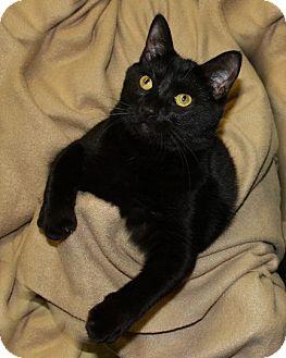 Domestic Shorthair Cat for adoption in Rochester, New York - Thunder