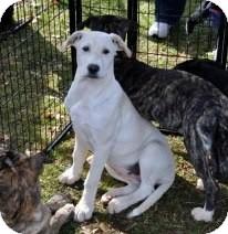 Labrador Retriever/Boxer Mix Puppy for adoption in Huntsville, Alabama - Zena