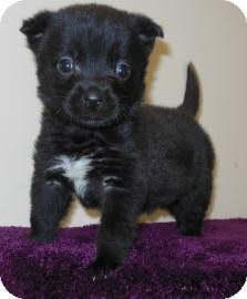 Retriever (Unknown Type)/Labrador Retriever Mix Puppy for adoption in Gary, Indiana - Luna