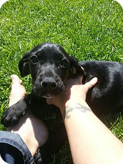 Labrador Retriever Mix Puppy for adoption in South Jersey, New Jersey - Tiny