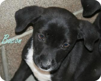 Retriever (Unknown Type) Mix Dog for adoption in Georgetown, South Carolina - Bacon