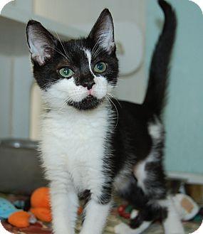 Domestic Shorthair Kitten for adoption in Bradenton, Florida - Neko